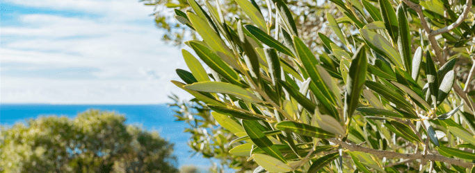 "<div class=""image-caption"">Olive Tree Leaves' Benefits</div>"